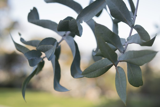 What Are the Allergy Symptoms to Eucalyptus Pollen?