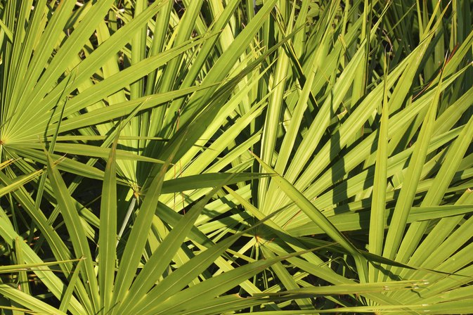 Can saw palmetto stop hair loss