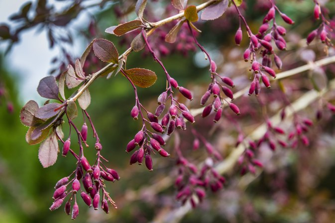The Benefits of Barberry