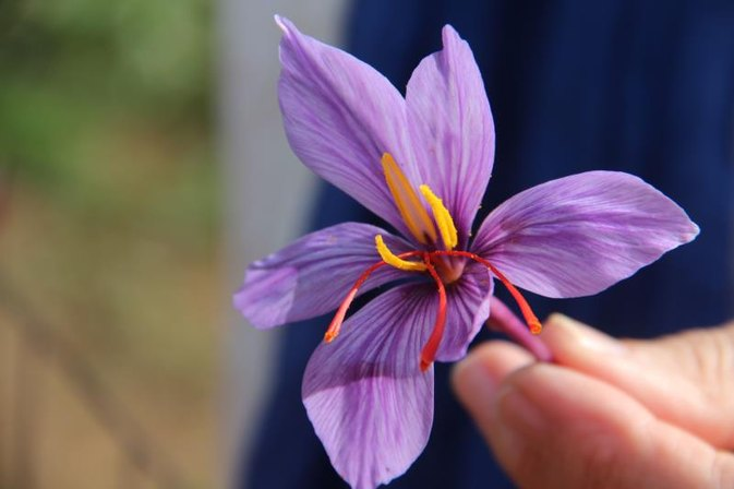 The Benefits of Saffron Root