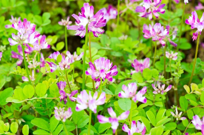 Side Effects of Astragalus Root