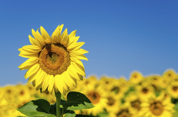 Will Sunflowers Give You Allergies?