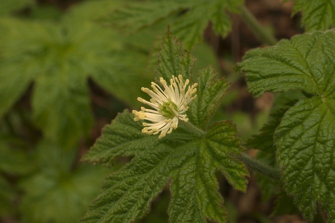 Goldenseal for UTI Symptoms
