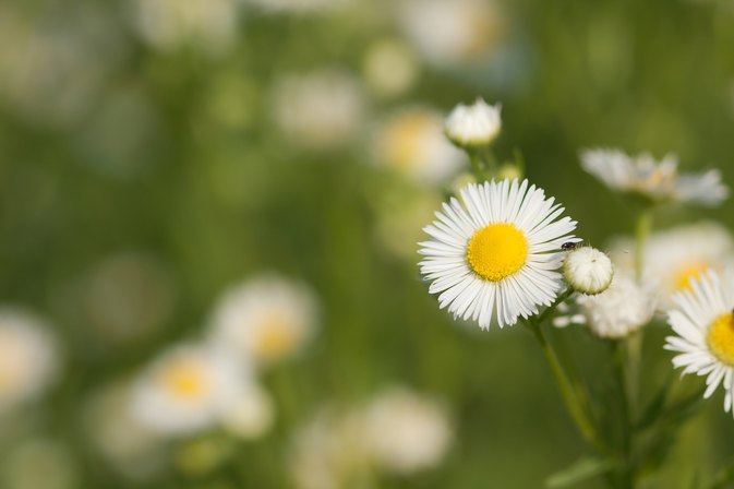 The Effects of Smoking Chamomile