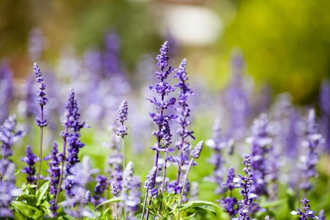 Lavender Oil for Earache