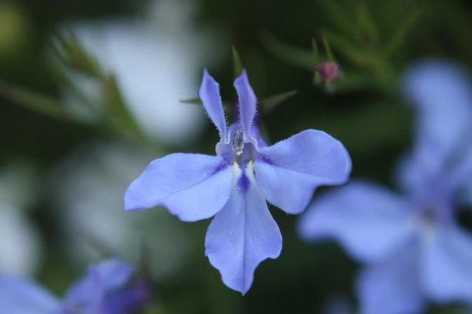 What Are the Benefits of Lobelia Extract?