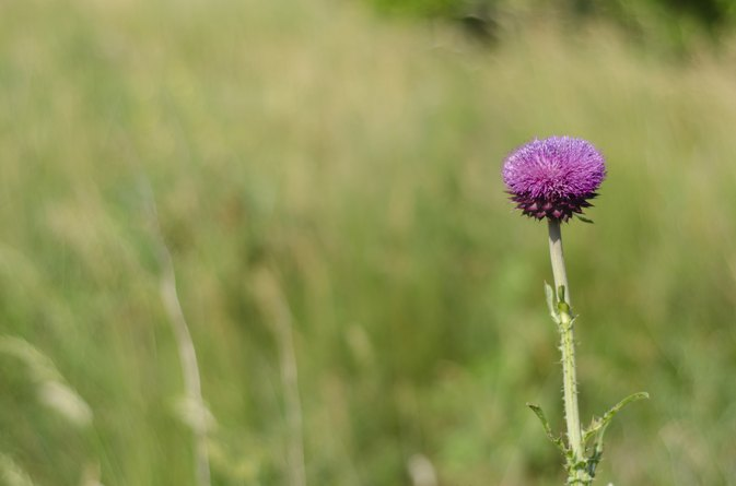 How to Take Milk Thistle for Bodybuilding