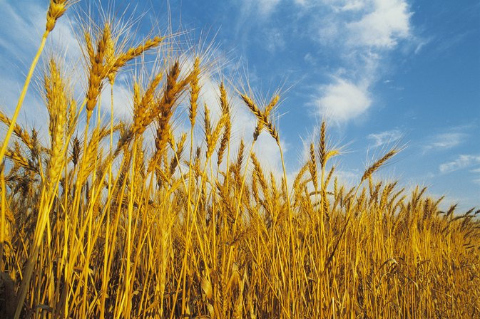 Sprouted Wheat for Diabetics