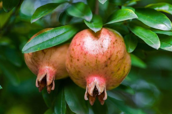 Antioxidant Level in Pomegranates