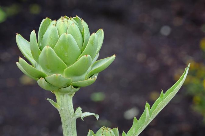 What Are the Benefits of Drinking Artichoke Extract?