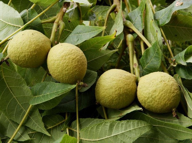 What Are the Dangers of Drinking Black Walnut Tea?