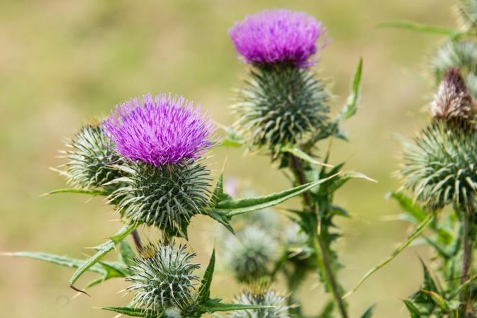 The Effects of Milk Thistle on Menopause