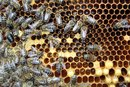 What Are the Benefits of Propolis?