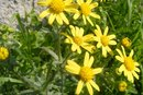 How Does Arnica Work?