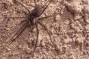 Brown Recluse Spider Bite Signs, Stages, Symptoms and Treatment