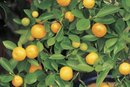 Can Oranges Be a Natural Laxative?