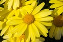 Why Is Arnica Bad for Pregnant Women?