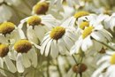 Will Chamomile Tea Help Acid Reflux?