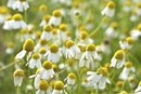 How to Make Tea With Chamomile Flowers