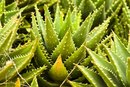 How to Make Homemade Aloe Vera Lotion