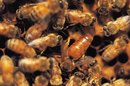 Royal Jelly & Weight Loss