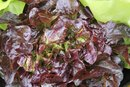Red Leaf Lettuce Nutrition Information