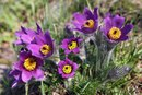 Pulsatilla Homeopathic Remedies