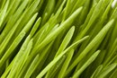Is There Gluten in Wheatgrass?