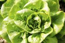 Nutritional Value of Butter Lettuce
