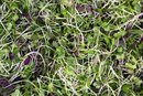 Dangers of Alfalfa Sprouts