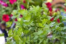 Parsley Leaf Capsules Benefits