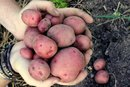 Are Red Potatoes Healthy?