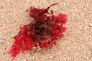 Side Effects of Red Algae Supplements