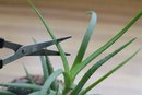 Aloe Vera for Prickly Heat