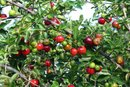 Side Effects of Acerola Powder