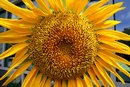 The Benefits of Sunflower Oil on Hair