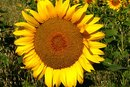 Herbicides for Sunflowers