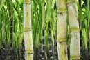 What Are the Health Benefits of Sugarcane?