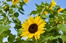 Skin-Care Benefits of Sunflower Oil