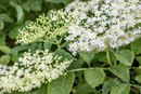 Elderflower Cordial Benefits
