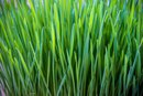 What Are the Benefits of Wheatgrass for Cholesterol and High Blood Pressure?
