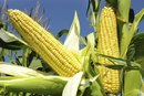 Nutritional Value of Sweet Corn