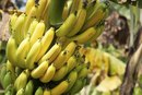 Do Bananas Ever Get Too Rotten to Cook?