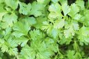Cilantro and Vitamin K