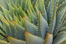 What Are the Benefits of Aloe Vera & Prickly Pear?