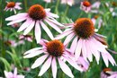 Does Echinacea Thin Your Blood?