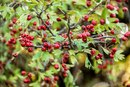 Hawthorn Berry & Pregnancy