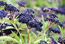 Elderberry As a Supplement