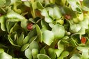 Facts on the Health Benefits of Watercress