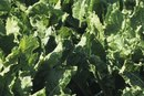 How to Stay Healthy Eating Collard, Mustard & Turnip Greens